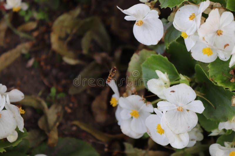 Flores brancas com abelha foto de stock royalty free