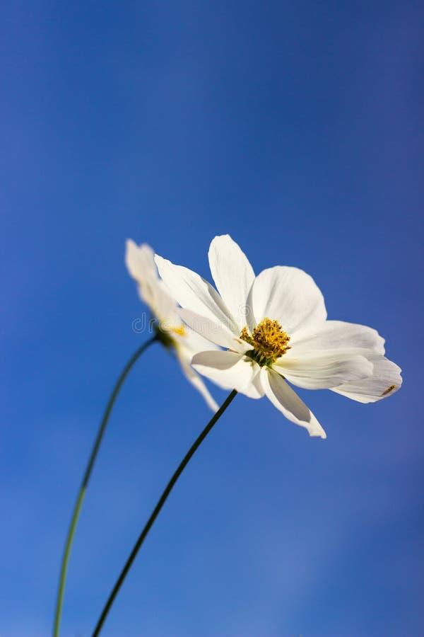 Flores brancas com estames amarelados imagens de stock