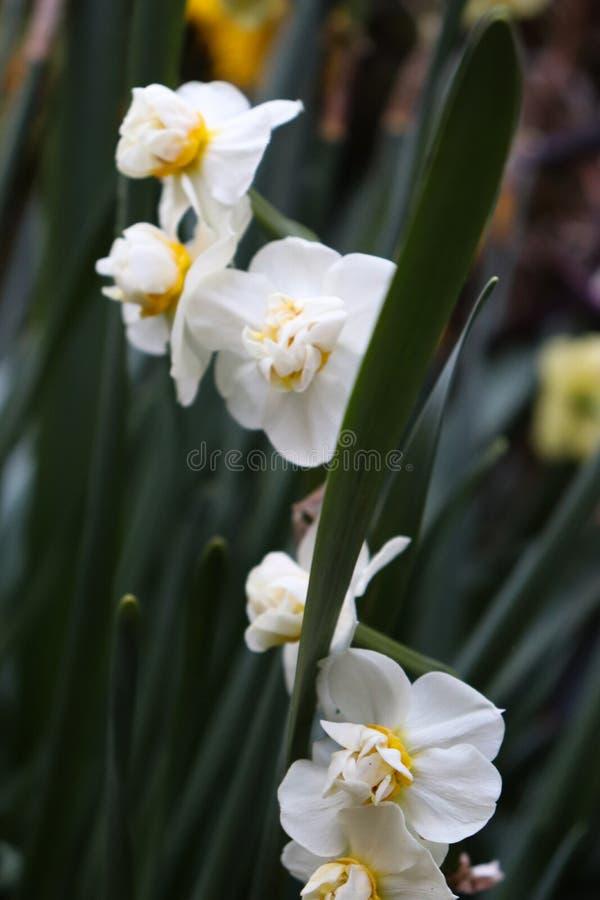 Flores brancas com ramo verde fotos de stock