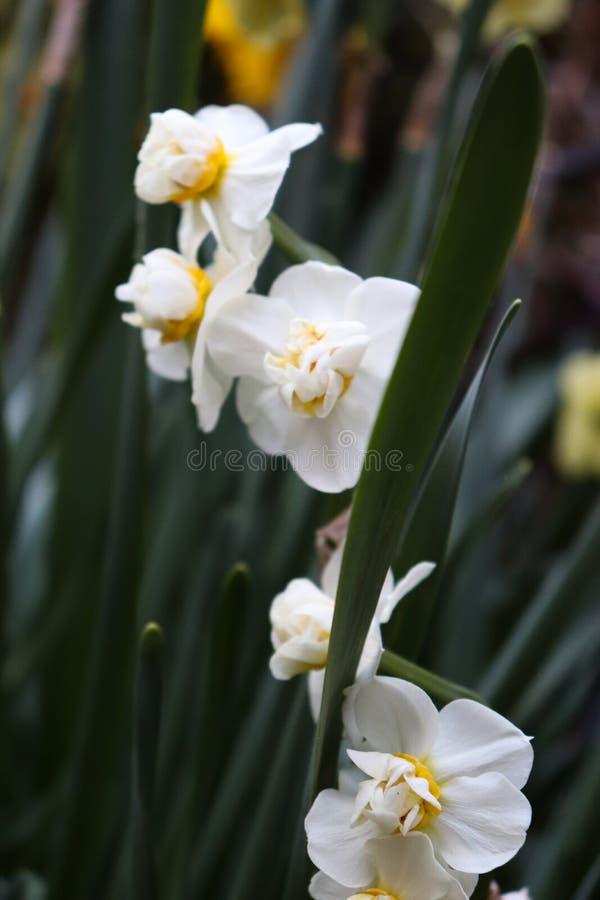 Flores brancas com ramo verde imagens de stock royalty free