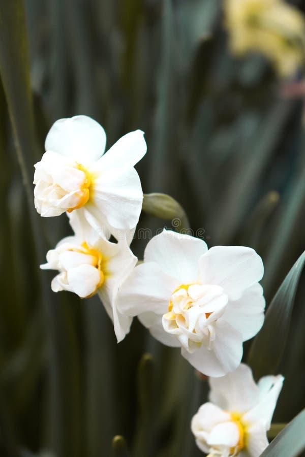 Flores brancas com ramo verde fotografia de stock royalty free