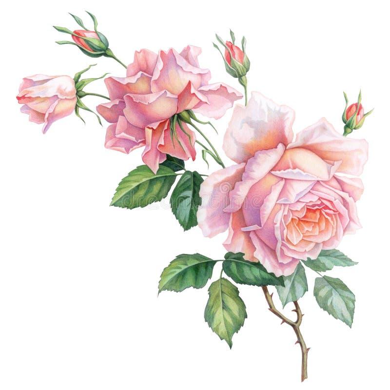 Flores brancas cor-de-rosa das rosas do vintage isoladas no fundo branco Ilustração colorida da aquarela do lápis ilustração royalty free