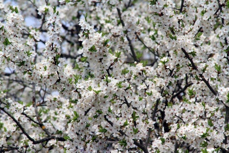 Flores brancas da árvore de ameixa imagem de stock royalty free