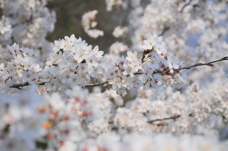 Flores brancas da árvore de cereja da mola imagens de stock