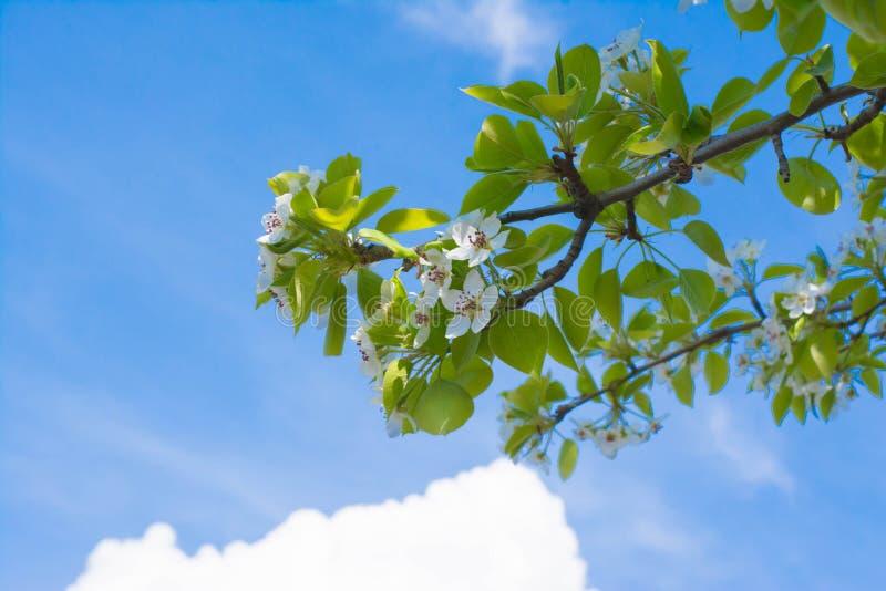 Flores brancas da árvore de pera fotografia de stock