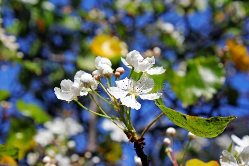 Flores brancas da árvore de pera sempre-verde fotos de stock royalty free