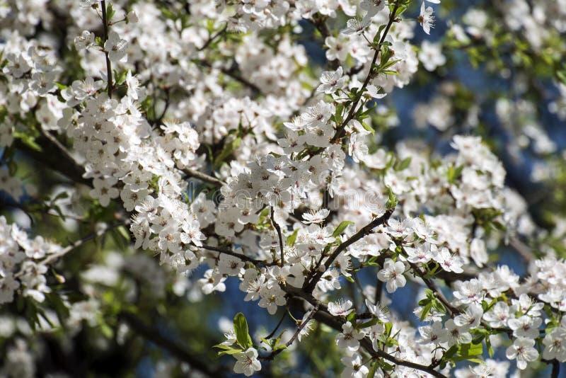 Flores brancas da ameixa de cereja de florescência imagens de stock royalty free