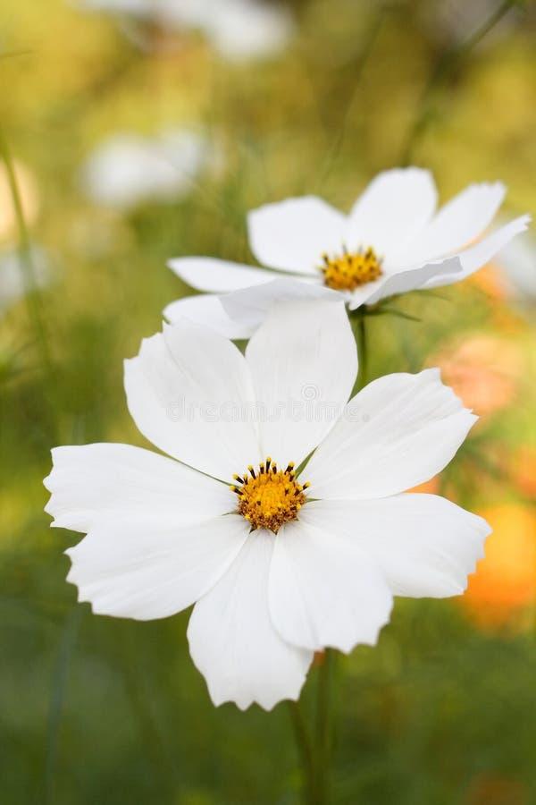 Flores brancas da beleza imagem de stock royalty free