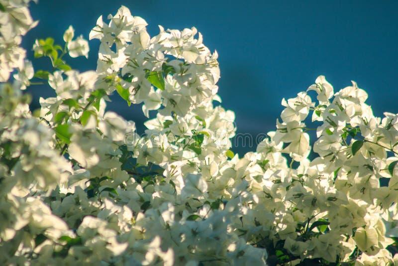 Flores brancas da buganv?lia que florescem belamente fotografia de stock royalty free