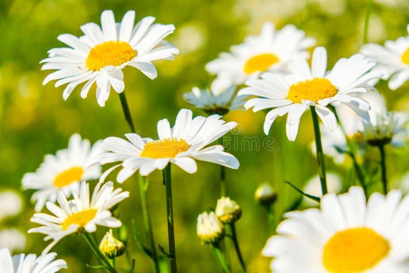 Flores brancas da camomila de Natual na floresta imagens de stock