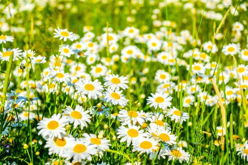Flores brancas da camomila de Natual na floresta foto de stock