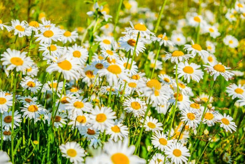 Flores brancas da camomila de Natual na floresta fotos de stock