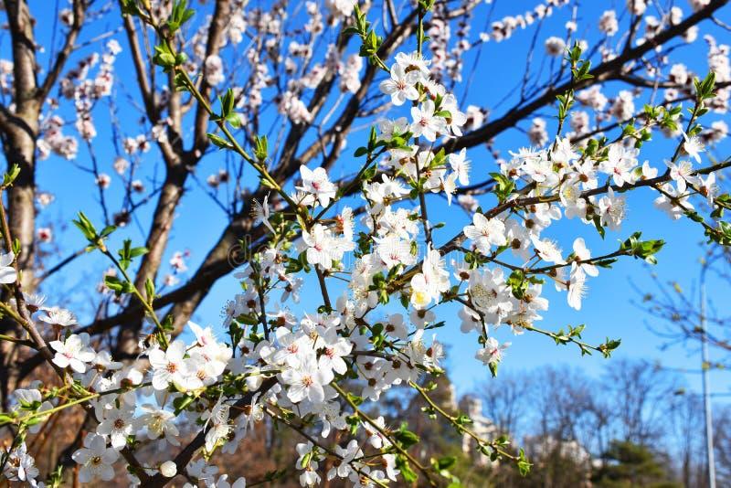 Flores brancas da cereja Árvore de florescência bonita imagens de stock royalty free