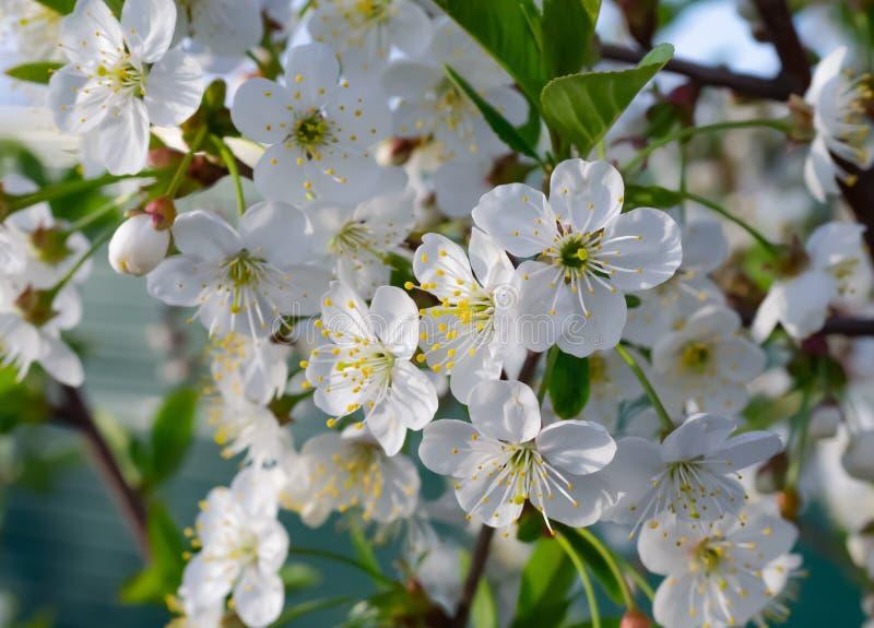 Flores brancas da cereja da mola imagem de stock