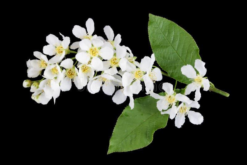 Flores brancas da flor da mola da árvore de ameixa selvagem da floresta isolada no preto imagem de stock royalty free