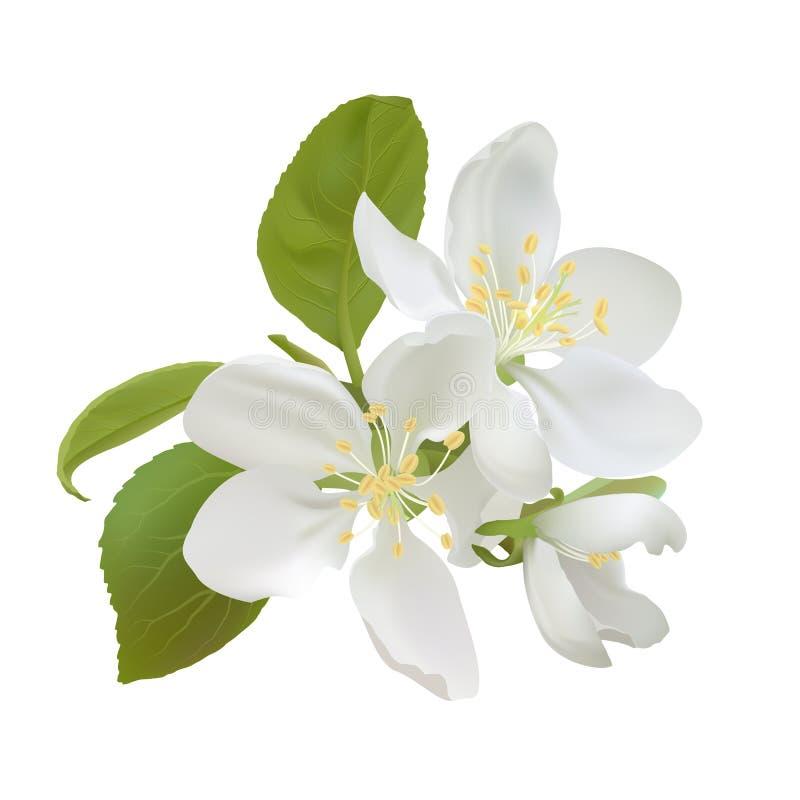 Flores brancas da maçã ilustração royalty free