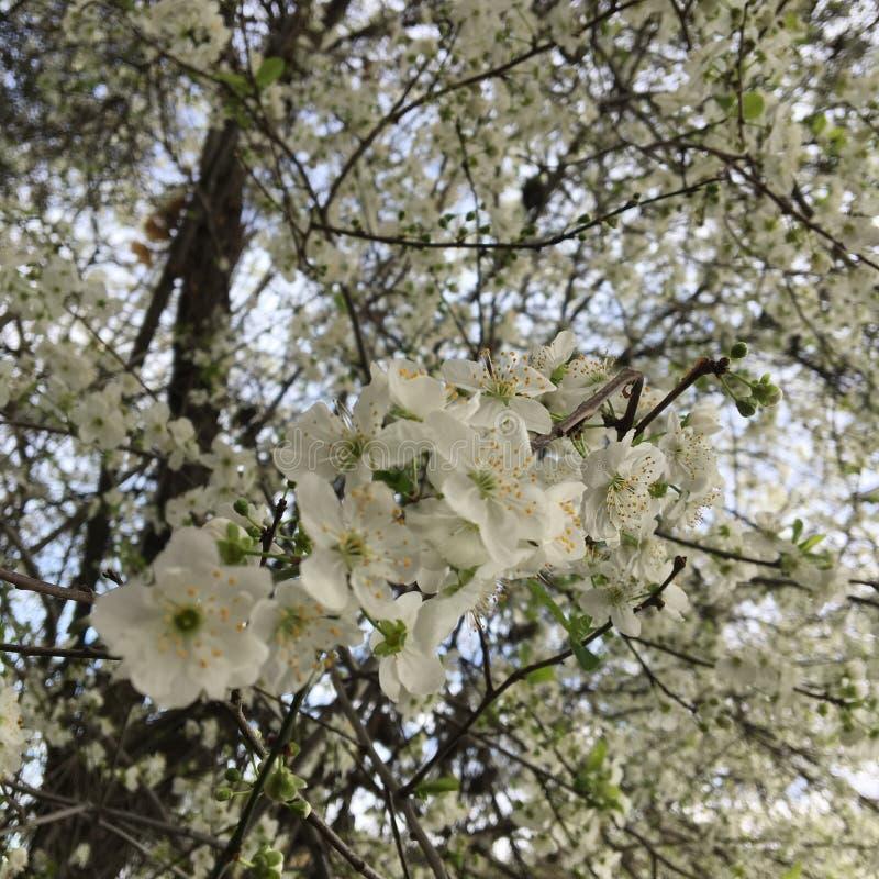 Flores brancas da mola fotos de stock
