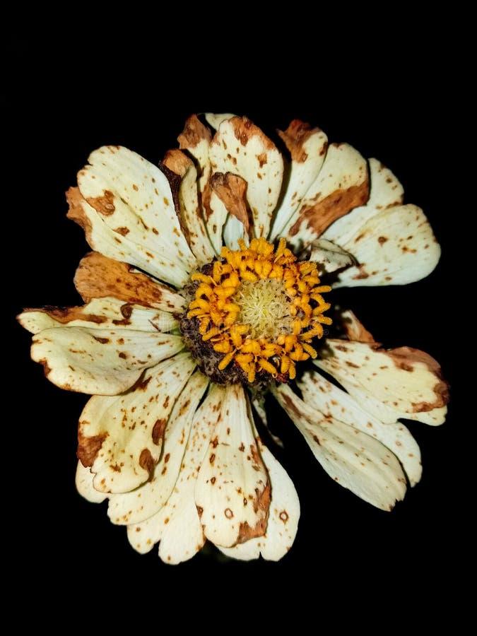 Flores brancas da noite bonita imagens de stock royalty free