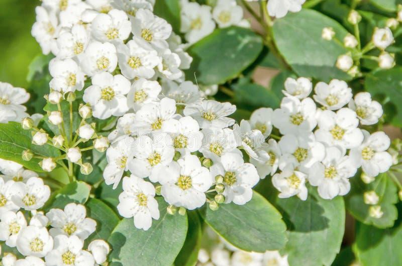 Flores brancas da noiva, Gypsophila imagens de stock