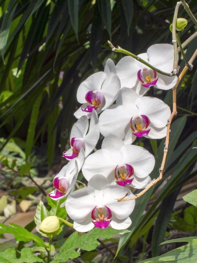 Flores brancas da orquídea de traça (sp do Phalaenopsis ) imagem de stock royalty free