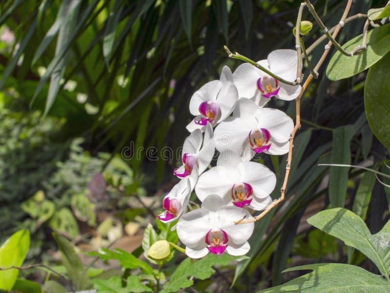 Flores brancas da orquídea de traça (sp do Phalaenopsis ) fotos de stock royalty free
