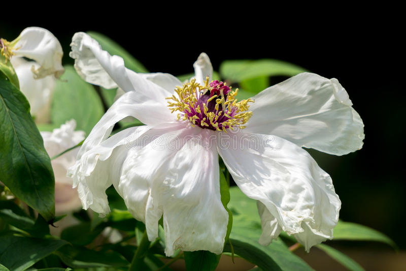Flores brancas da peônia imagens de stock royalty free