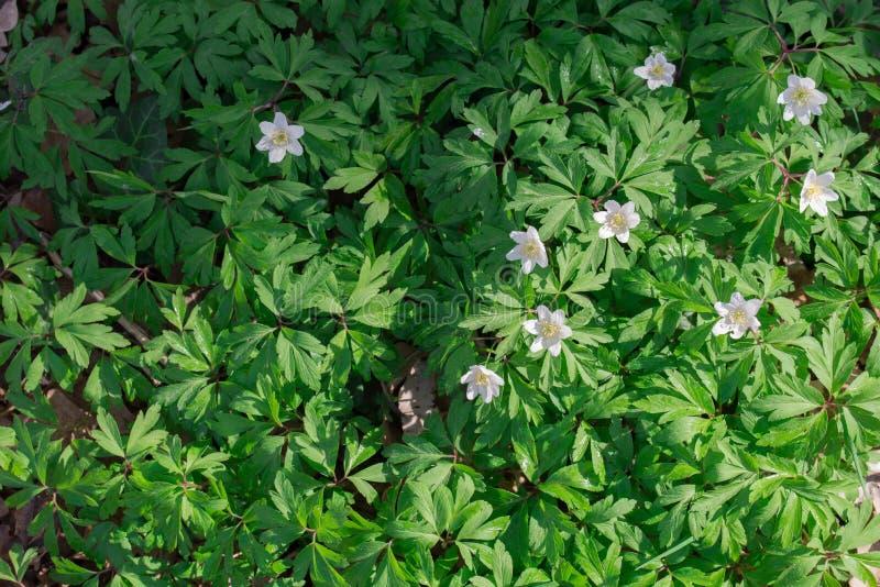 Flores brancas da raposa da anêmona de madeira do nemorosa da anêmona, do windflower, do thimbleweed ou do cheiro imagem de stock royalty free