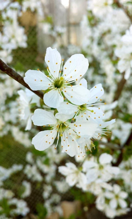 Flores brancas das flores de cerejeira imagem de stock