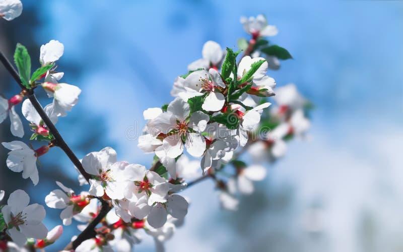 Flores brancas de Cherry Blossoms On Celestial Background fotos de stock