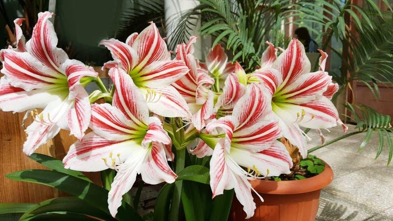 Flores brancas de florescência bonitas de Amaryllis fotografia de stock