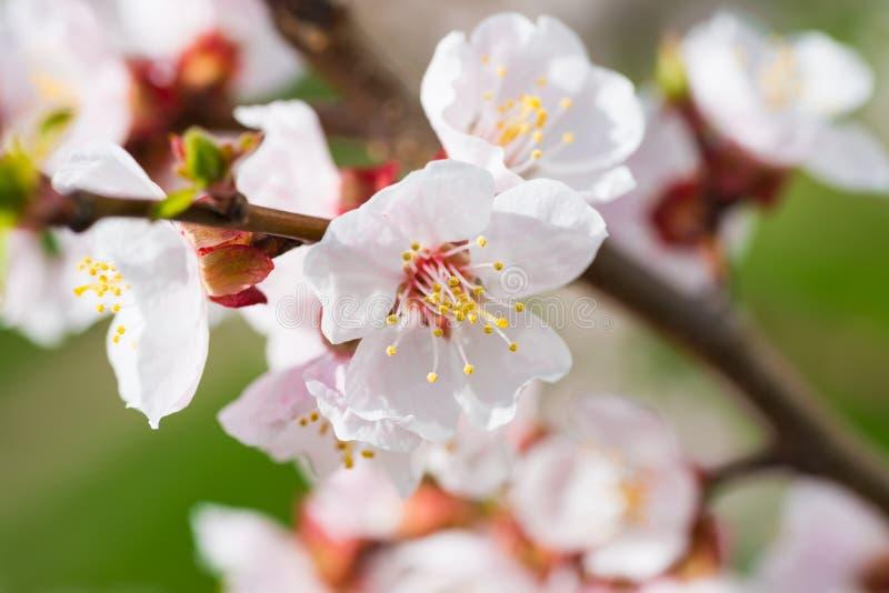 Flores brancas de florescência da mola da mola fotografia de stock