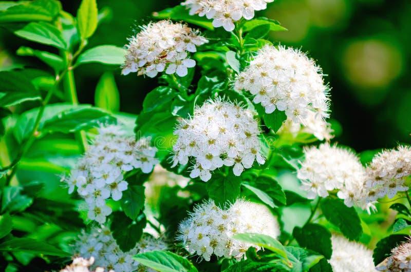 Flores brancas de floresc?ncia bonitas do spirea Flores brancas da primavera close up, foco seletivo foto de stock