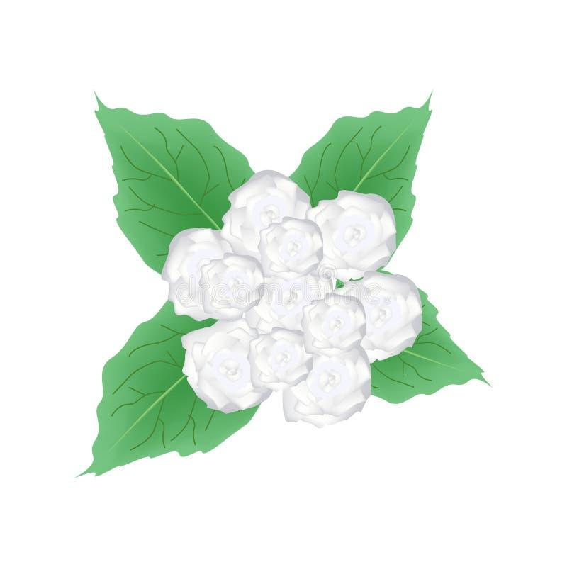 Flores brancas de Glory Bower Flowers ou de Clerodendrum Chinense ilustração stock