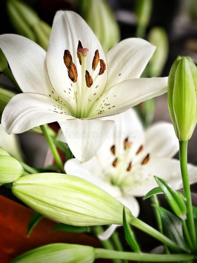 Flores brancas de Lillie foto de stock royalty free