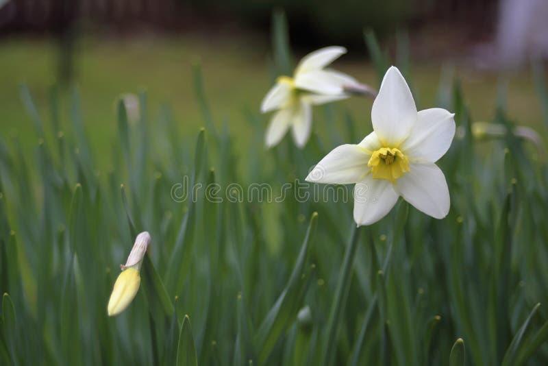 Flores brancas de Narcissus Poeticus branco fotografia de stock