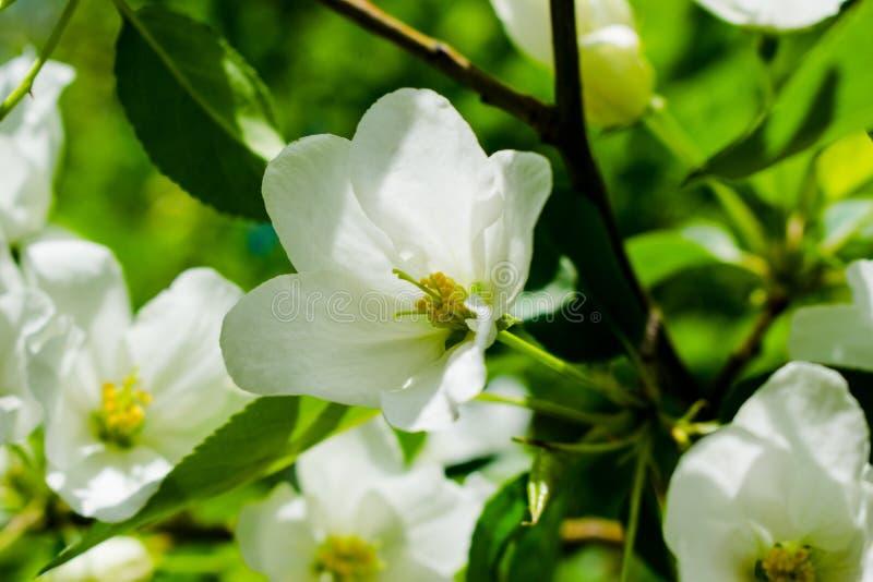 Flores brancas de ?rvores de ma?? foto de stock