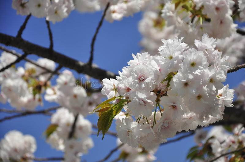 Flores brancas de sakura em Osaka, Japão imagens de stock