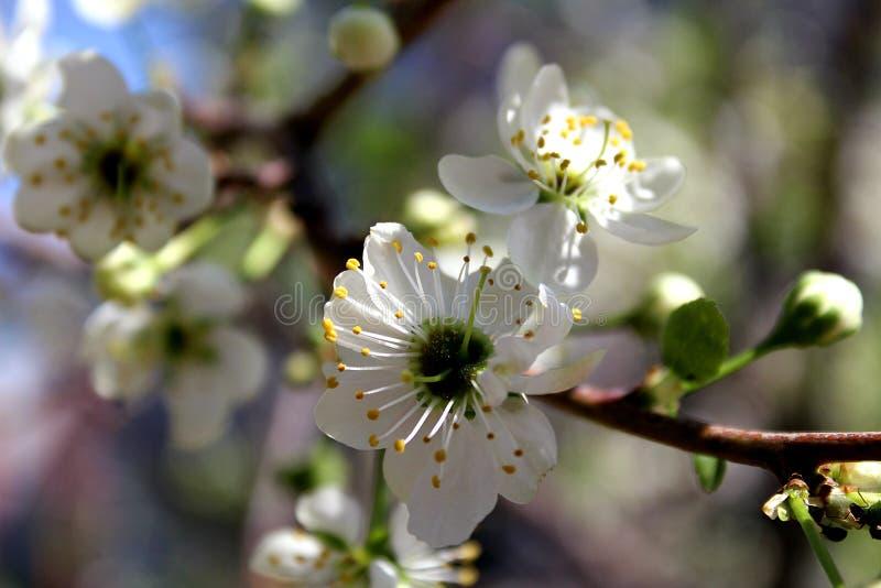 Flores brancas de uma árvore de cereja na mola fotografia de stock