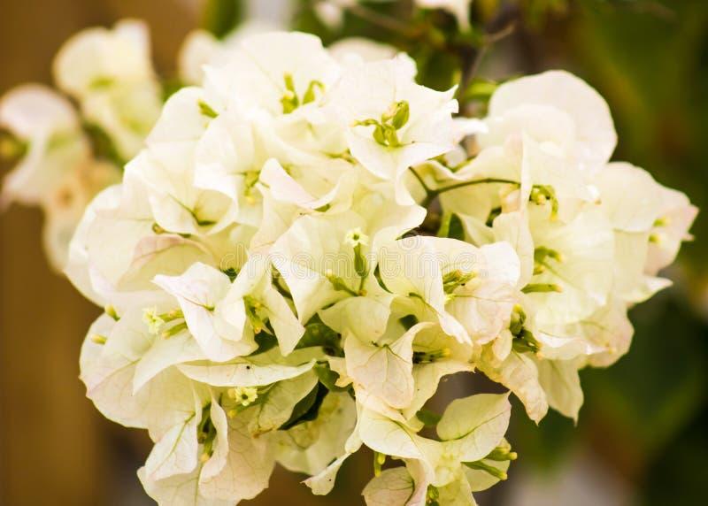 Flores brancas decorativas da buganvília de Splendurous imagem de stock