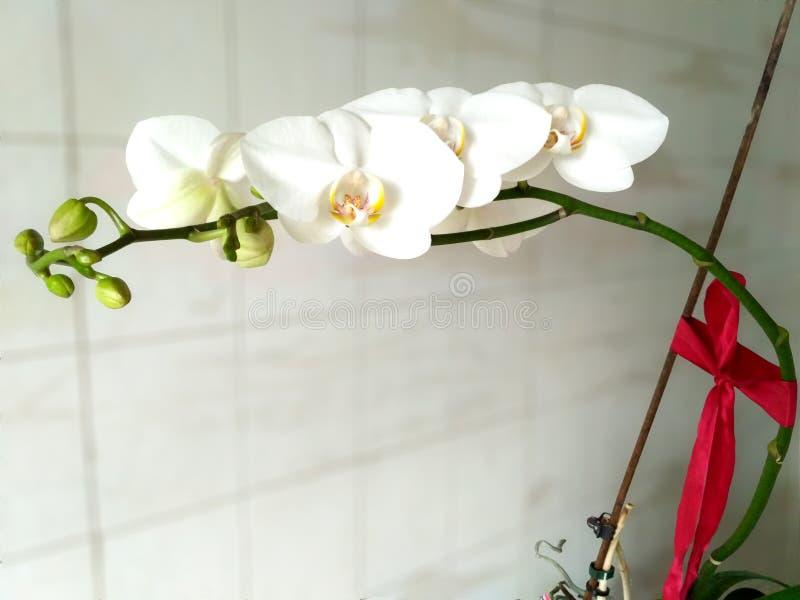 Flores brancas delicadas da orquídea com curva vermelha imagem de stock