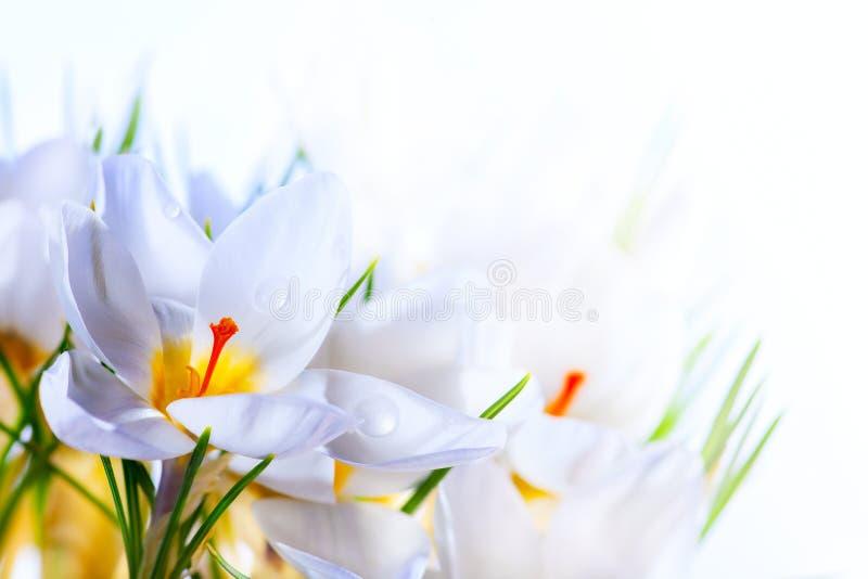 Flores brancas do açafrão da mola no fundo branco fotos de stock