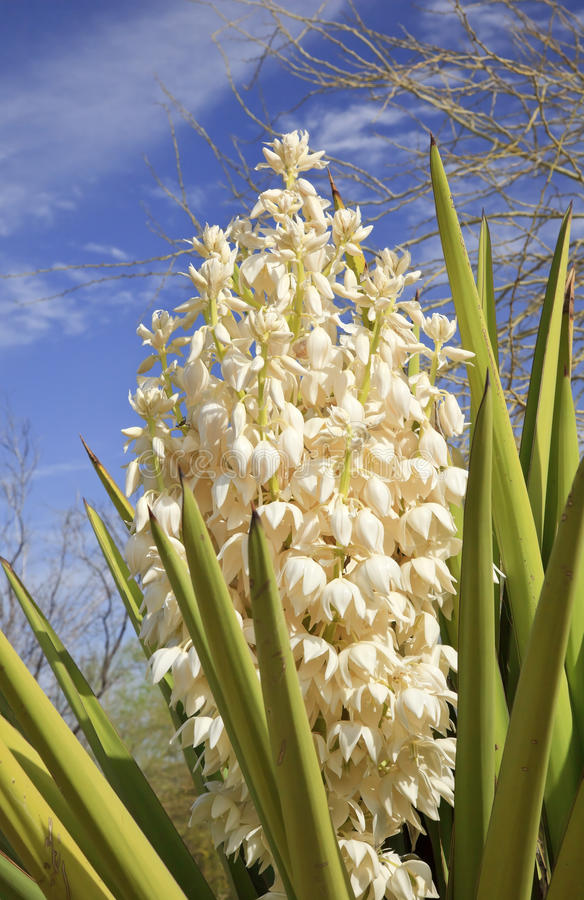 Flores brancas do cacto do Yucca fotografia de stock royalty free