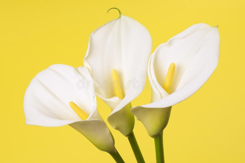 Flores brancas do Calla fotos de stock royalty free