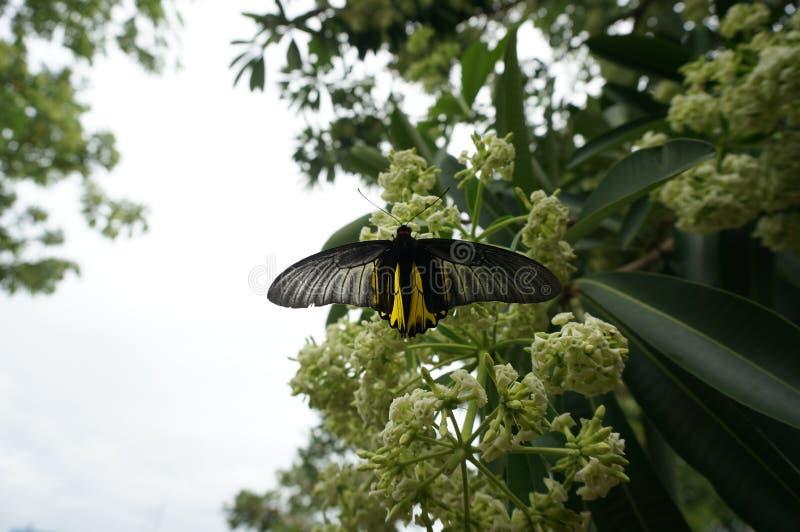 Flores brancas do cheesewood e borboleta preta imagens de stock