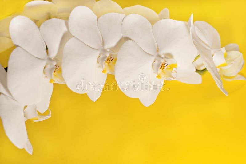 Flores brancas do close up da inflorescência do phalaenopsis no fundo amarelo foto de stock royalty free