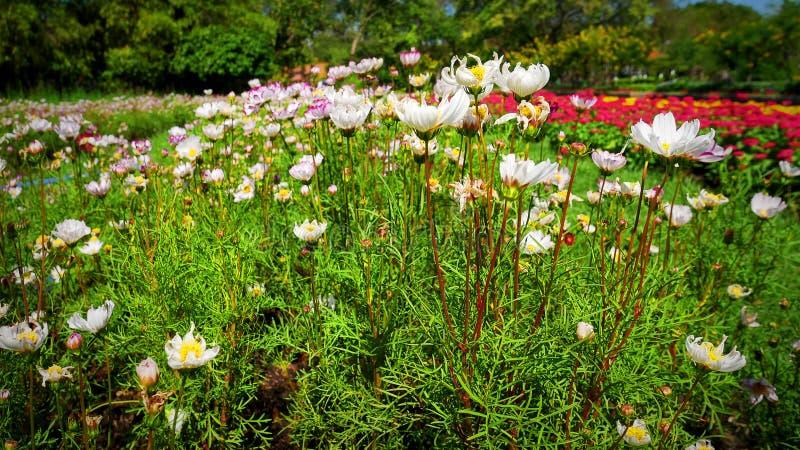 Flores brancas do close up nos campos de flor vívidos no fundo fotografia de stock royalty free