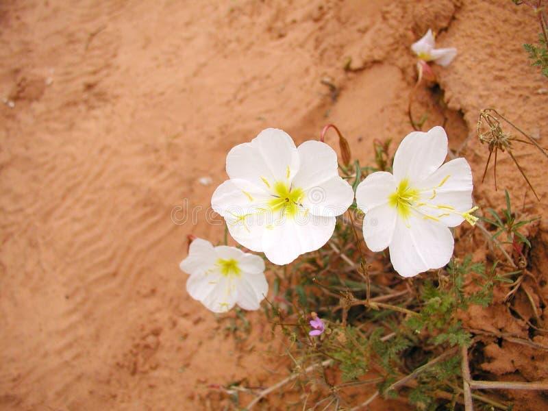 Flores brancas do deserto foto de stock royalty free