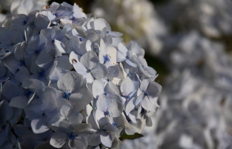 Flores brancas do hydrangea fotografia de stock royalty free