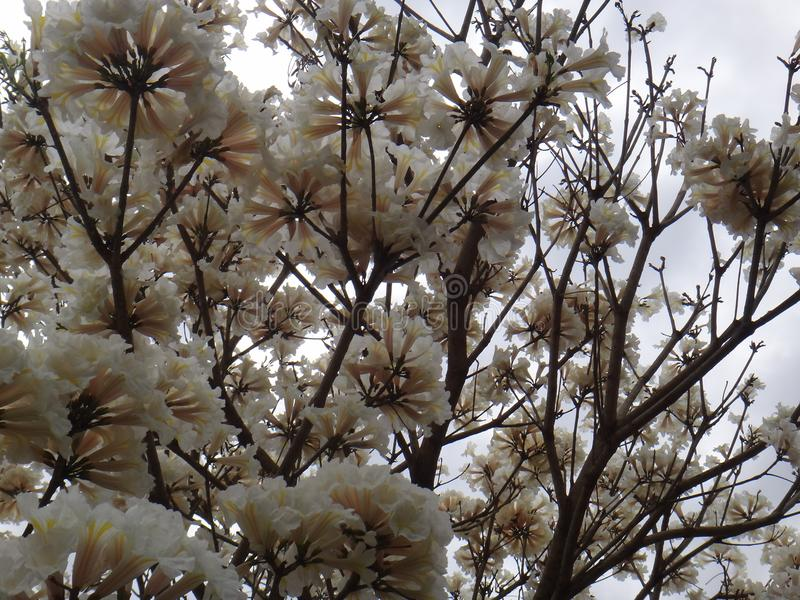 Flores brancas do ipe fotografia de stock royalty free