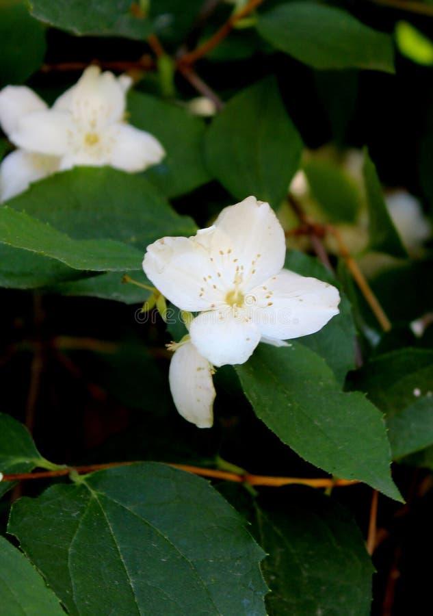 Flores brancas do jasmim com close-up verde das folhas no preto foto de stock royalty free